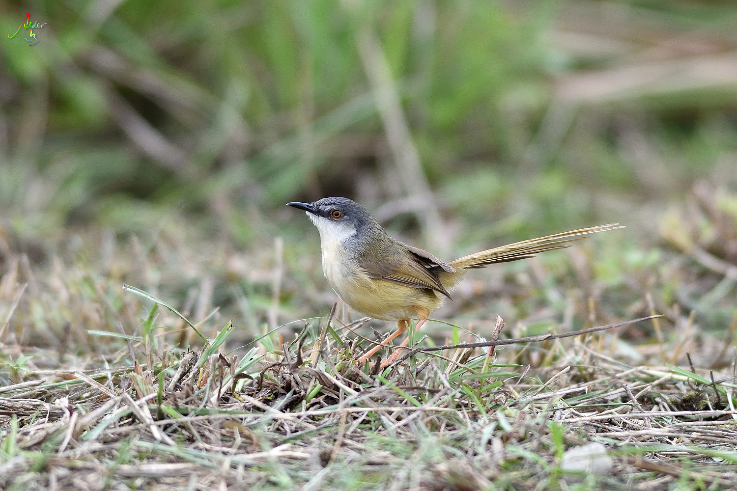 Yellow-bellied_Prinia_3662
