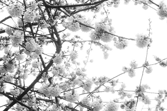 White Blossom [12/30]