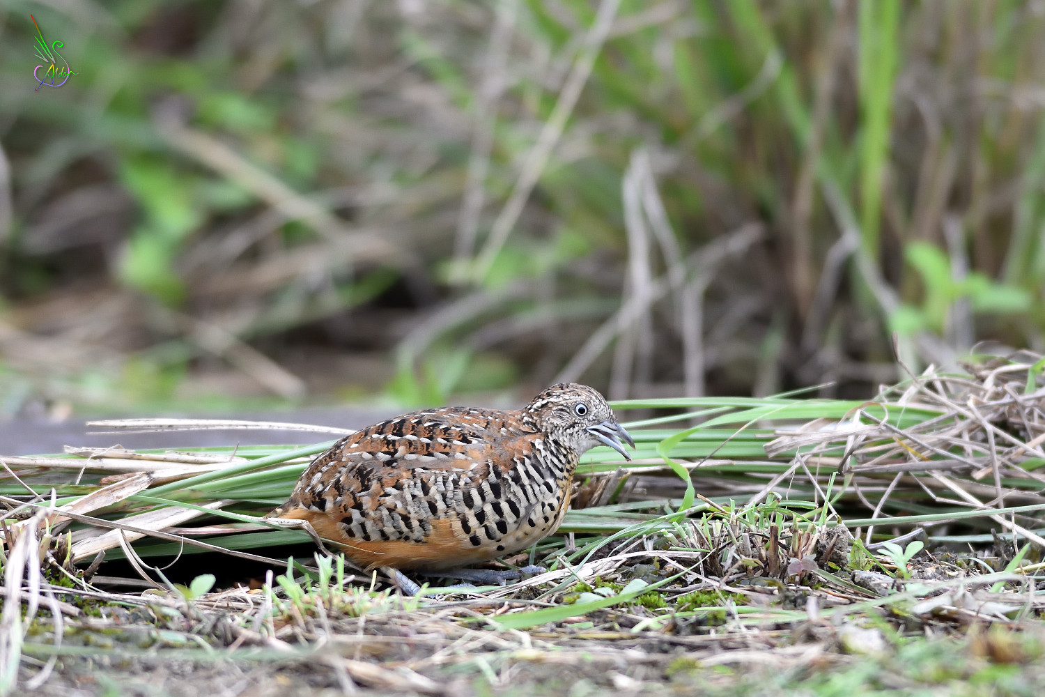 Barred_Buttonquail_2365