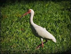 White Ibis_P4230004_Clwtr,Fl