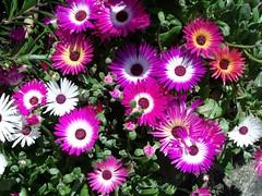 pigface(0.0), dorotheanthus bellidiformis(1.0), annual plant(1.0), flower(1.0), plant(1.0), daisy(1.0), flora(1.0), floristry(1.0), petal(1.0),