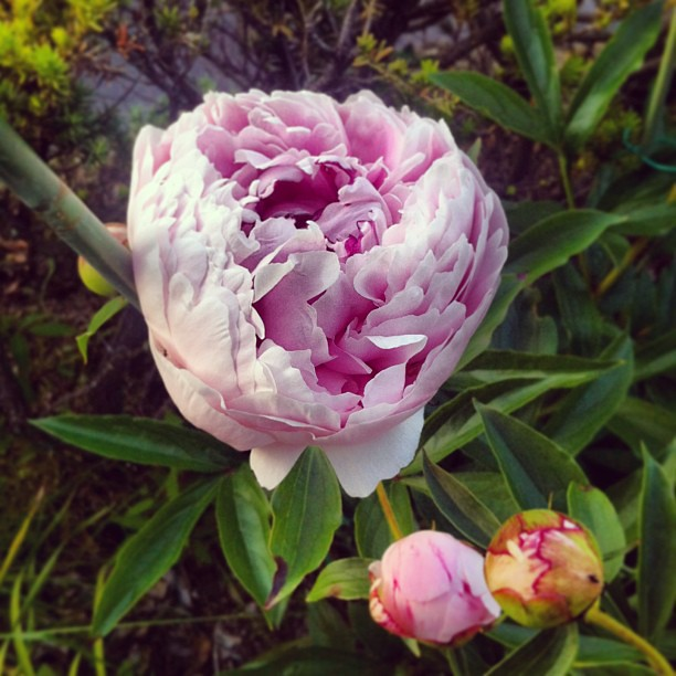 Mom's peonies :) so pretty #mymomisgreat