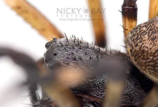 Nephilengys sp. - DSC_7680
