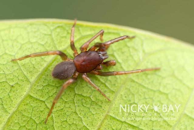 Tube Dwelling Spider (Segestriidae) - DSC_7647