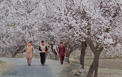 Walk In Cherry Blossom by SMBukhari