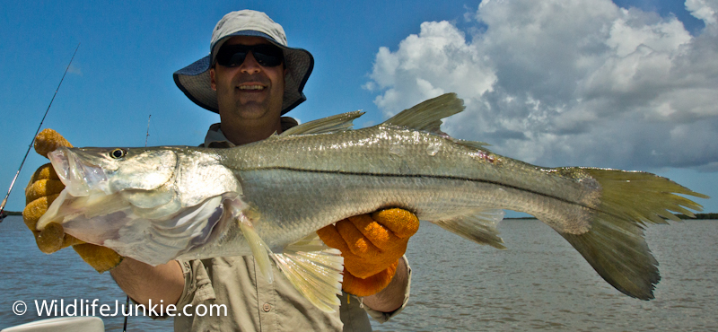 Snook in the Everglades