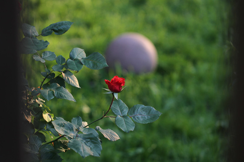 rose against ball