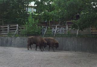 Wisent - European buffalo