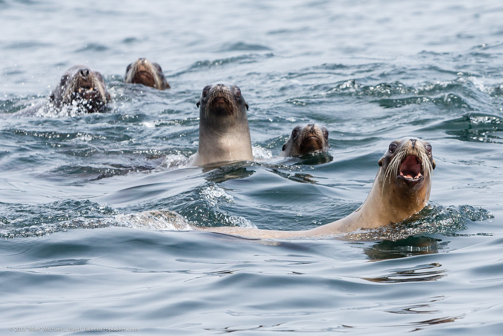 California Sea Lions, Zalophus californianus, following the food and whales, approach our boat,