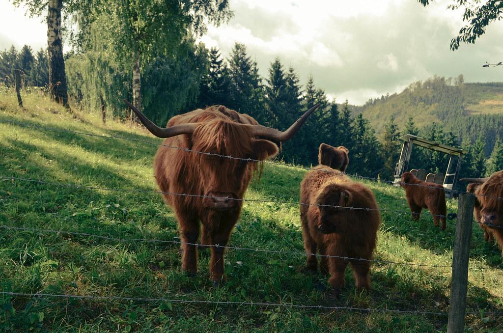 15 big horn cow