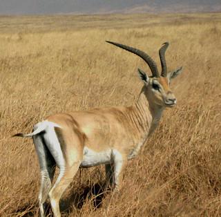 Gazelle (Ngorongoro)