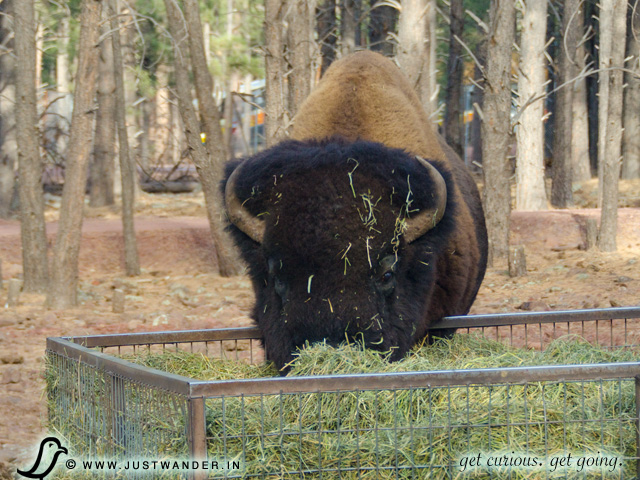 PIC: Bearizona's American Bison