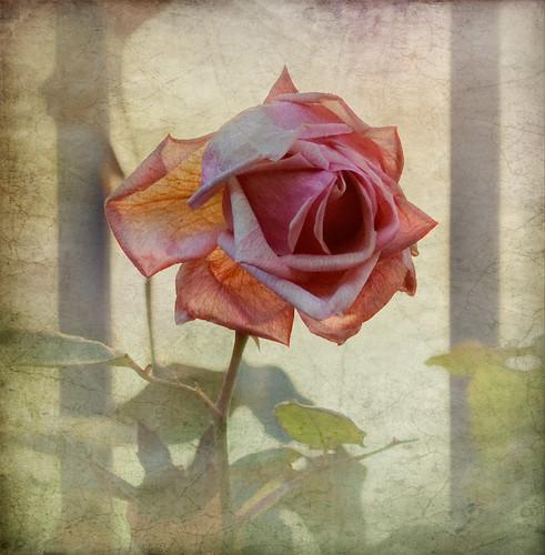 Rosa de l'Estany