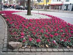 cyclamen, winteraanplant in Aken / cyclamen, winter planting in Aachen