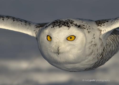 """""""Snowy 747"""" - Snowy Owl in flight, Ottawa, Canada"""