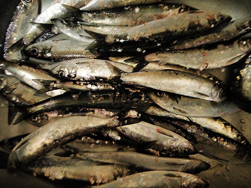 herring Astoria  49 4jr14_112