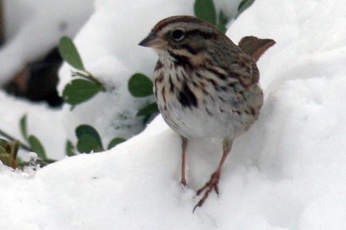song sparrow 085