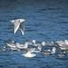 Bonaparte's Gull (Chroicocephalus philadelphia) by Photo Patty