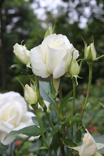 Avery Rose Garden