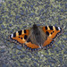 Small photo of Kleine Vos - Aglais urticae