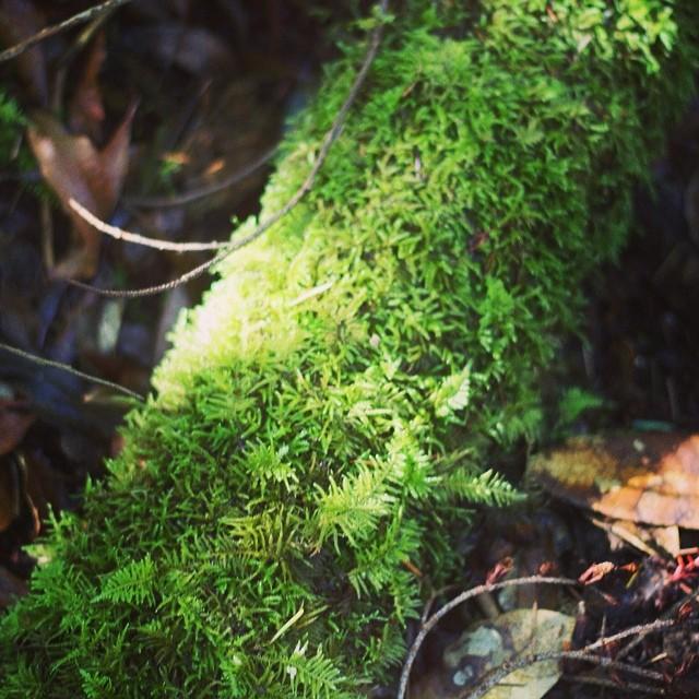 #ferns #adventureswithlauren #intothewild #camping #bigbasinstatepark