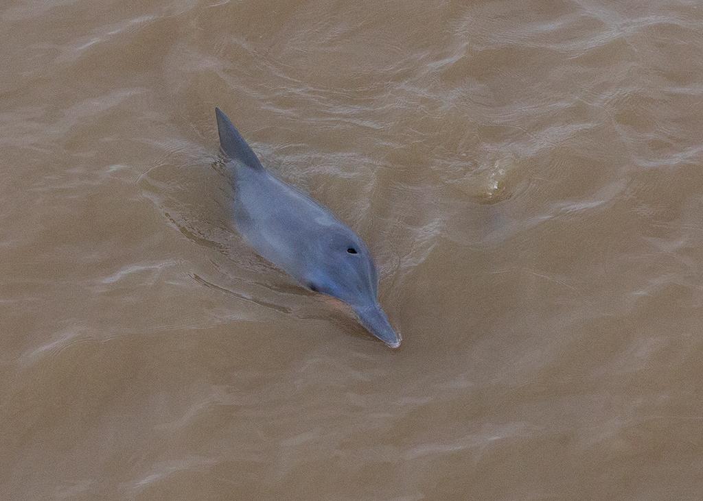 Tucuxi River Dolphin 2014-01-20