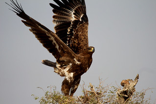 Eagle leaving nest (steppe or tawny?)
