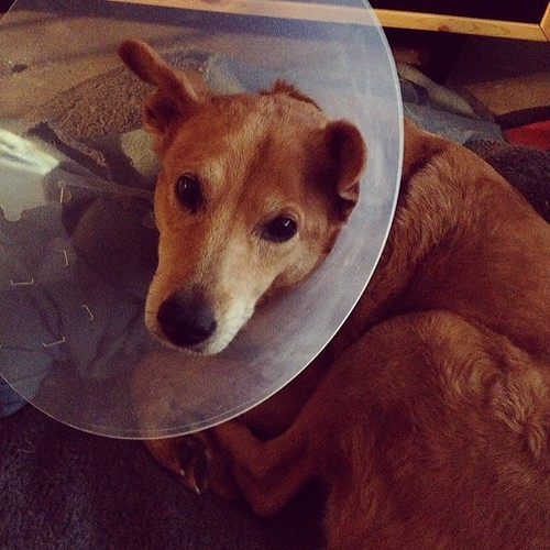 Was there ever a more pathetic-looking beast? Cone head Daisy is such a sad #dog. #Daisydog