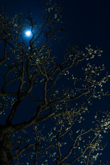 Ume blossom under the moon