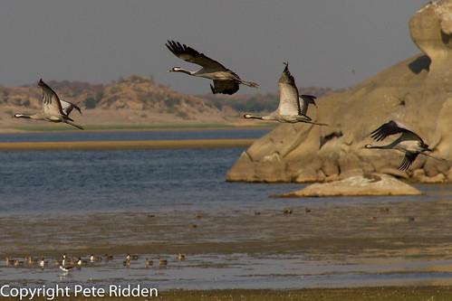 birds cranes grus commoncrane indianbirds