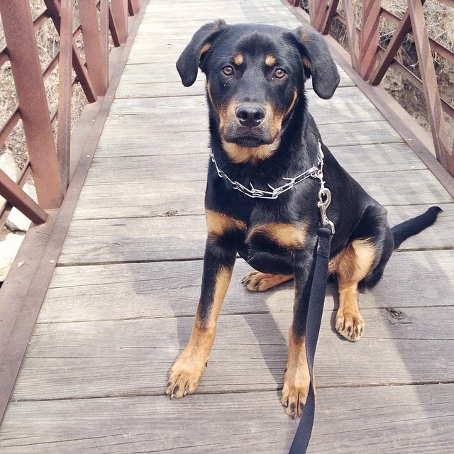 Daily walks with this beast are quickly becoming my favorite thing... #ilovespring #teddygram #instateddy #rottie #puppy #sixmonths #beast #spring #365grateful