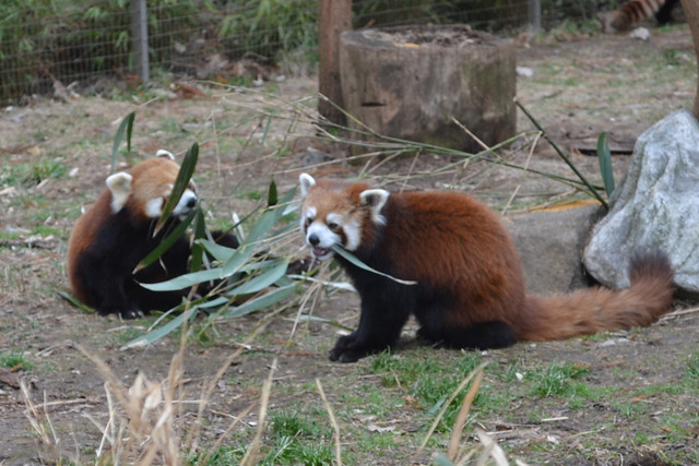 The red panda family at Prospect Park Zoo enjoys some bamboo courtesy of BBG. Photo by Elizabeth Peters.