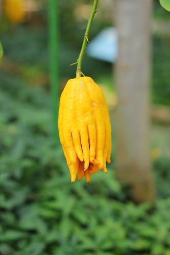 Citrus medica var. sarcodactylus
