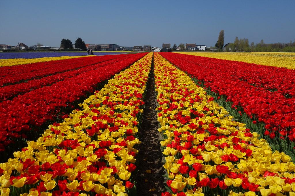 Flower fields, Voorhout / NL, 2017
