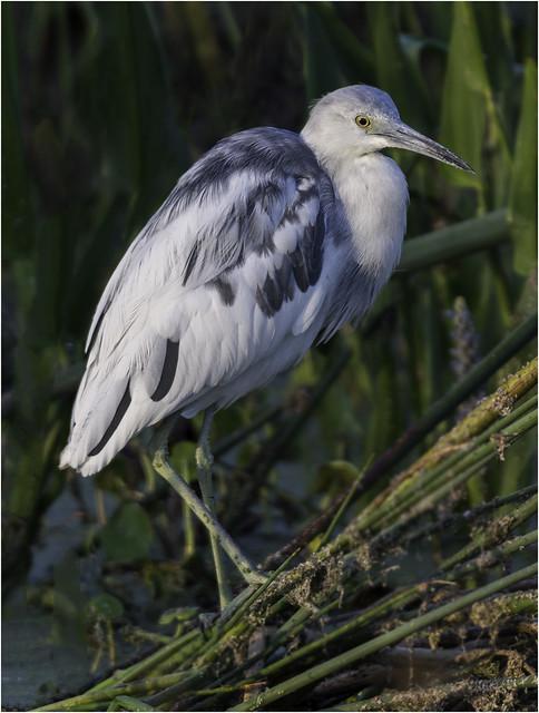 Little Blue Heron ( Morph )