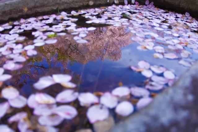 手水の桜, Pentax K-7, smc PENTAX-DA FISH-EYE 10-17mm F3.5-4.5 ED[IF]
