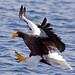 Steller's Sea Eagle (Dani Free)
