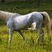 Il cavallo e,...l'airone guardabuoi