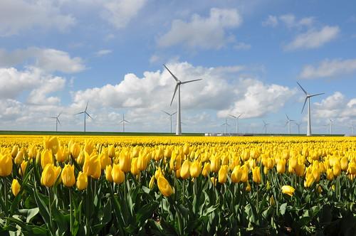 tulpen met windmolens in de Noordoostpolder