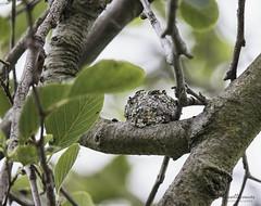 _J3A5023 7D Mark ll Tamron 150-600mm f5-6.3 Di VC USD G2 Bolsa Chica wetlands Anna's Hummingbird nest