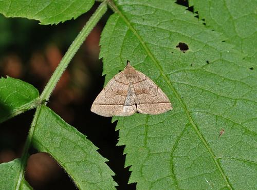 Early Zanclognatha (Zanclognatha cruralis)