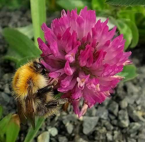 Fuji FinePix HS50EXR.Super Macro.Carder Bee On A Red Clover Flower.June 25th 2013.