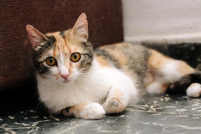 Jaspe, maravillosa tricolor de ojos cobrizos esterilizada nacida en Abril´11, necesita adopción. Valencia. ADOPTADA.  9142803034_3056fa54ee_z