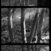 A cluster of four trees: a triptych by ChrisWarren1956