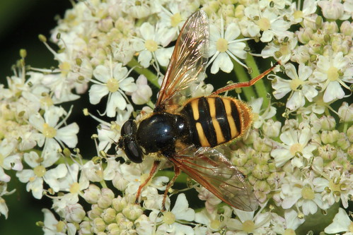 Sericiomyia silentis 18572