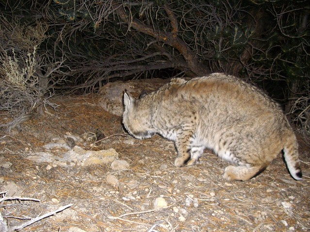 bobcat pooping