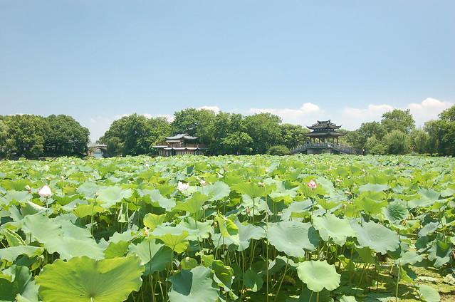 杭州西湖曲院風荷