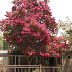 In the neighborhood…Crape Myrtle - 26