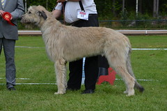 hound(0.0), sighthound(0.0), glen of imaal terrier(0.0), irish soft-coated wheaten terrier(0.0), borzoi(0.0), afghan hound(0.0), dog sports(1.0), animal sports(1.0), dog breed(1.0), animal(1.0), silken windhound(1.0), dog(1.0), galgo espaã±ol(1.0), sports(1.0), pet(1.0), lurcher(1.0), irish wolfhound(1.0), conformation show(1.0), carnivoran(1.0),