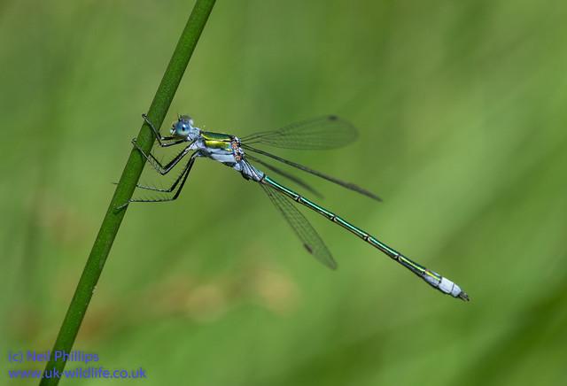 Emerald damselfly Lestes sponsa-6